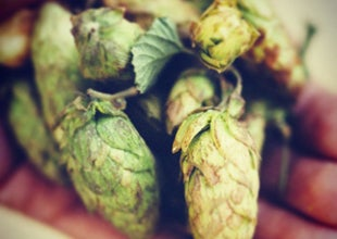 2015 season fresh hopped craft beers!